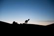 Dromedare im Sonnenuntergang, Silhouette in der Sahara/Marokko