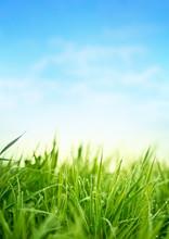 Fresh Spring Grass. Garden Background
