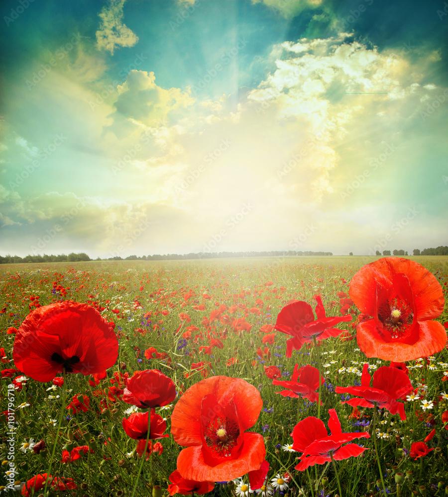 landscape poppy flowers