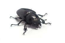 Female Stag Beetle (Lucanus Cervus) Isolated On White Background