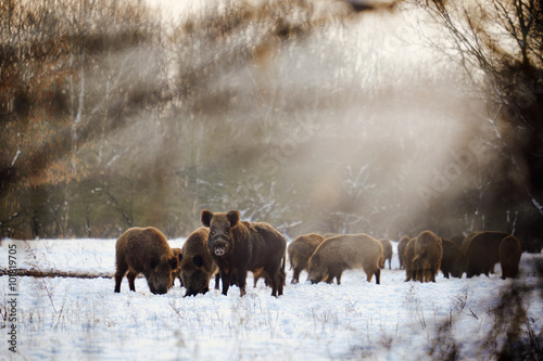 Poster Chasse Wild boars on winter forest