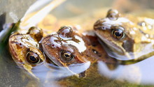 Three Frogs During Breeding Season