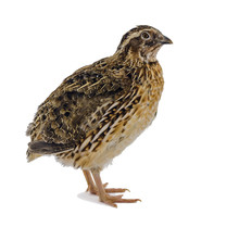 Adult Domesticated Quail Isolated On White Background