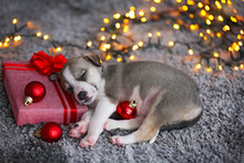 Little Cute  Puppy Sleeping On Christmas Background