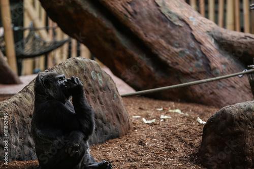 Photo Western lowland gorilla