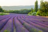Pola lawendy Prowansja Francja - 101866177