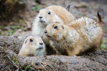 Group Of Three Black Tailed Prarie Dogs Looking Alert Around A Muddy Wet Burrow