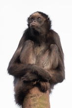 A Spider Monkey Sitting On Top Of A Post With A Stern Expression Isolated Against A White Background In Upright Vertical Format