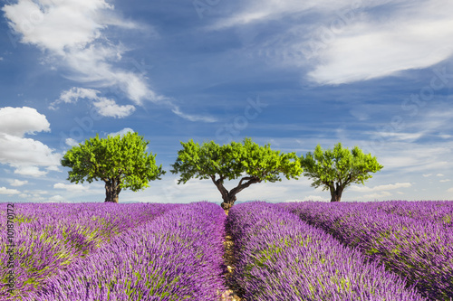 Photo  Lavender field with three trees