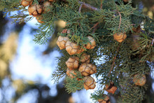 Bright Cypress Cones On His Tree
