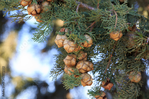 Fotografiet  Bright cypress cones on his tree
