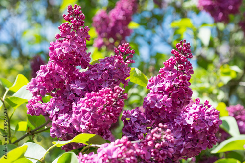 Stickers pour porte Lilac Flowering branch of lilac