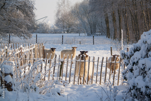 Wall Murals Sheep Drentse heideschapen, Schoonebeekers, in de sneeuw in Nederland