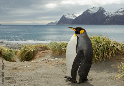 King penguin standing on the sandy beach, with snowy mountains and sea in background, South Georgia Island, Antarctica