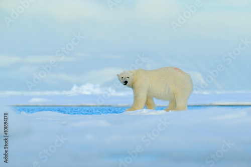 Tuinposter Ijsbeer Big polar bear on drift ice edge with snow a water in Arctic Svalbard, big white animal in the nature habitat, foggy mountain in the background, Norway