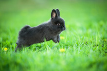 Little Black Rabbit Jumping In The Grass In Summer
