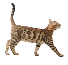 Side View Of A Bengal Cat Walking