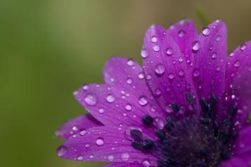 fiore, viola, rosa, rugiada, goccioline, acqua