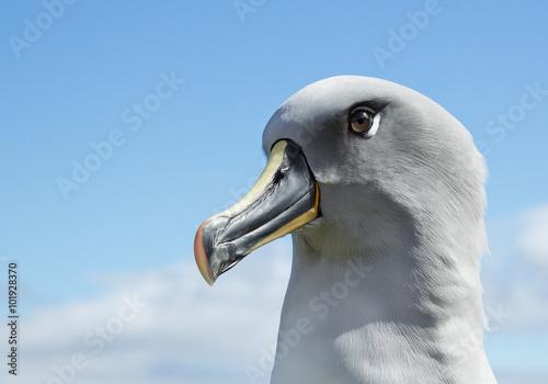 Fotografia, Obraz Grey headed albatross portrait with blue sky backgrund, South Georgia Island, An