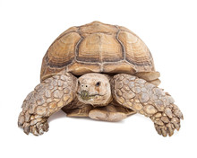 Sulcata Tortoise Crawling Forw...