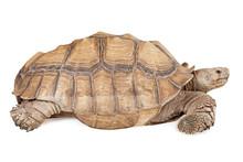 Sulcata Tortoise Isolated On White