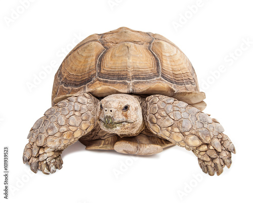Poster Tortue Sulcata Tortoise Crawling Forward