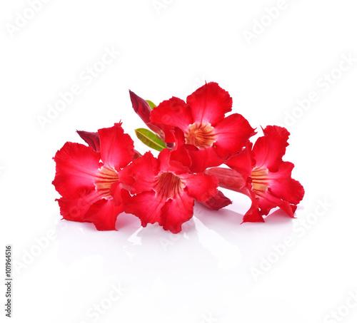 Papiers peints Azalea azalea flowers isolated on white background