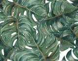 Bezszwowy wzór z tropikalnym podziałem Opuszcza Filodendron rośliny botanicznego akwarela obraz na białym tle - 101969533