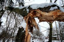Winter Broken Trunk Tree
