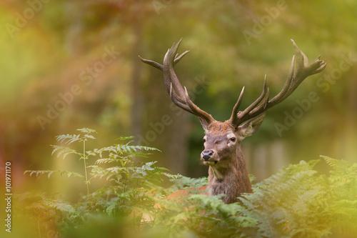 Poster Cerf cerf brame cervidé mammifère roi forêt bois cor flou feuille