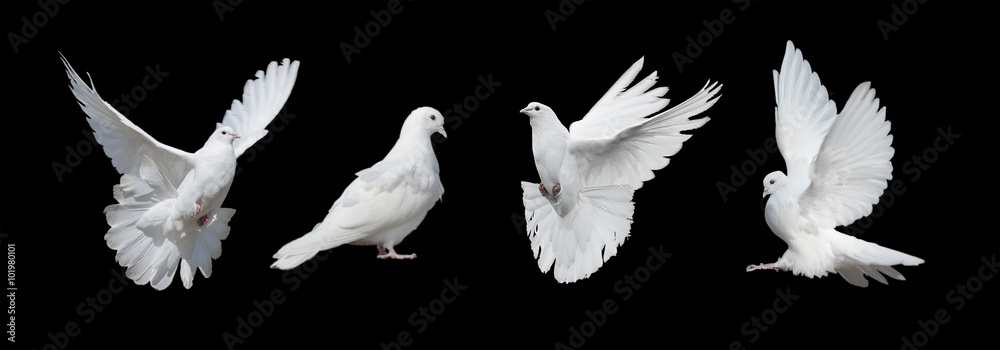 Four white doves