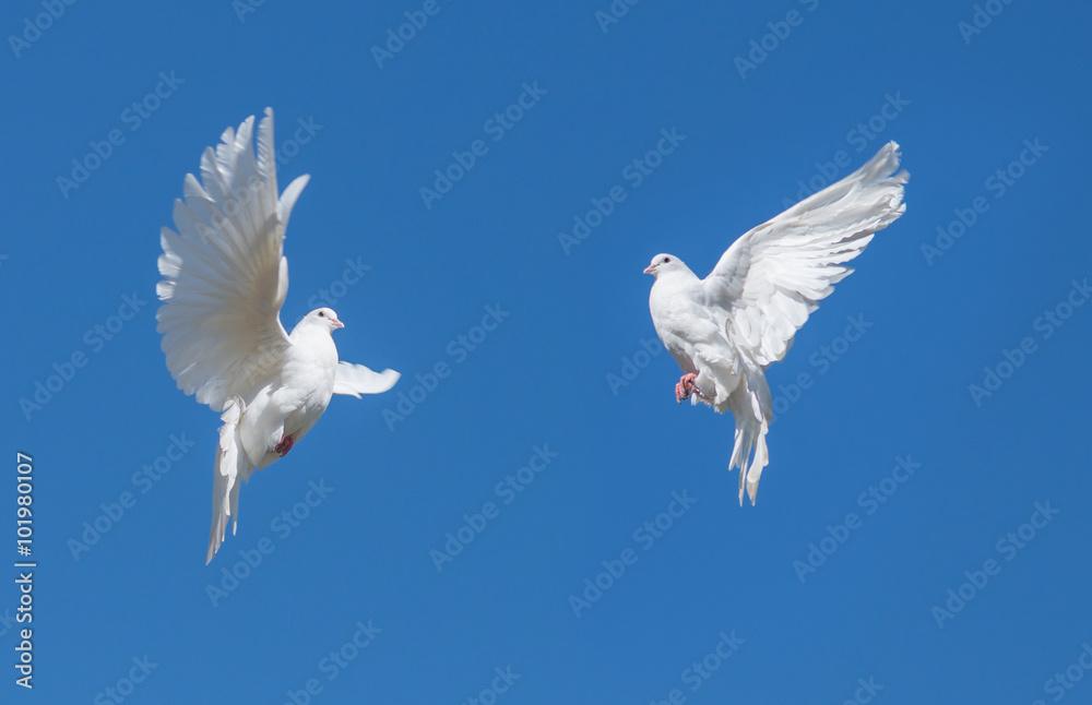 Two white dovse
