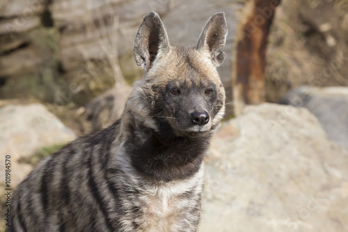 Striped Hyaena, Hyaena Hyaena, portrait