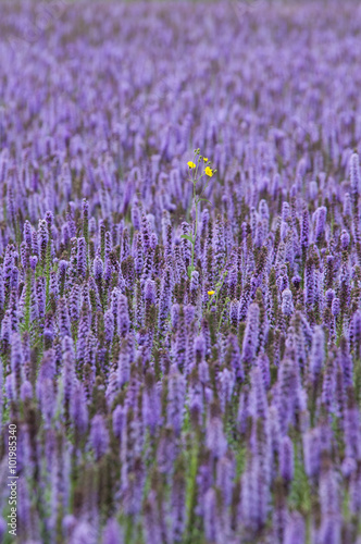 Fototapety, obrazy: beautiful purple field of Agastache with one yellow flower