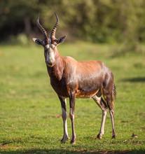A Blesbok Standing In A Green Field Facing Forward