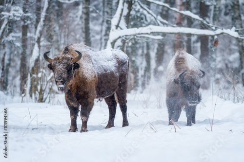 Fotografie, Obraz  Two Bison and Snow