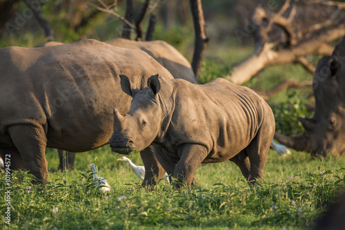 Fotografie, Obraz  A young Rhino teenager grazing