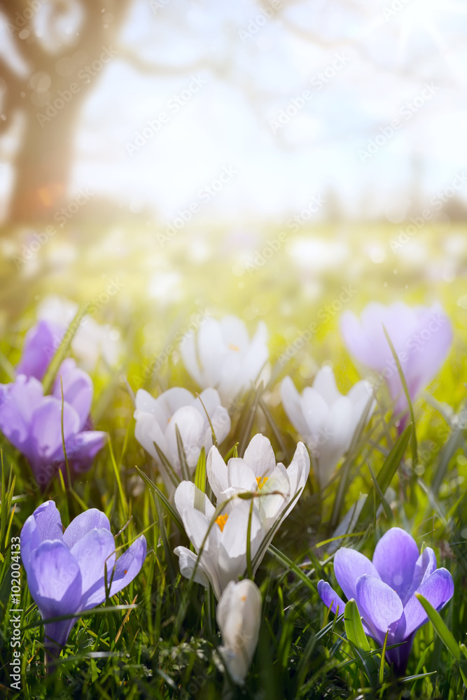 Fototapeta art Happy Easter day;  Spring flowers on sunny field