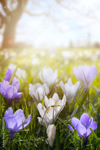 Obraz art Happy Easter day; Spring flowers on sunny field - fototapety do salonu