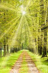 FototapetaBaumallee mit Weg im Frühling und mit Sonnenschein