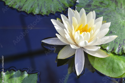 Foto op Canvas Lotusbloem white lotus flower blooming in the pond reflection with the water