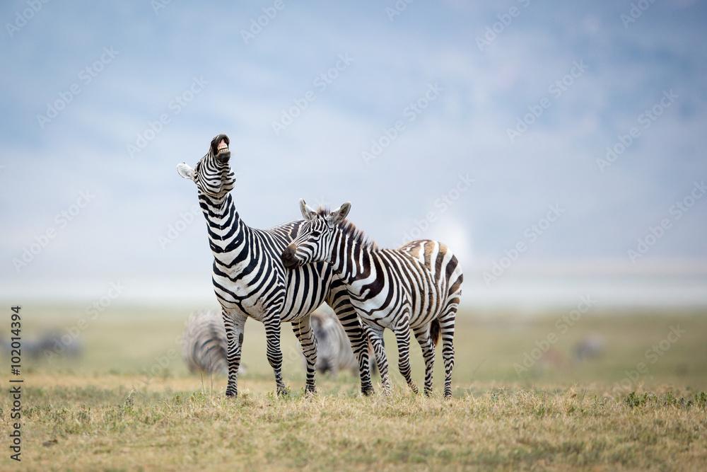 Fototapety, obrazy: Two Plains Zebra fighting in the Ngorongoro Crater, Tanzania