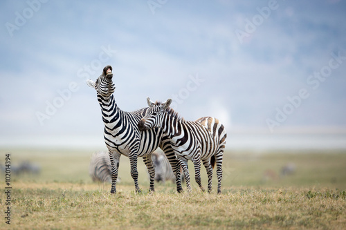 Foto auf Gartenposter Zebra Two Plains Zebra fighting in the Ngorongoro Crater, Tanzania