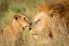Young Lion Cub Greeting A Larg...