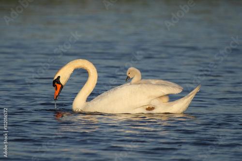 Poster Swan Zwaan met kuiken op haar rug