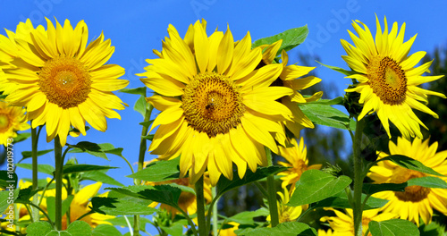 In de dag Geel sunflowers: color of summer :)