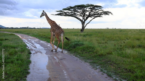 Giraffe while safari in the Serengeti, Tanzania, Africa