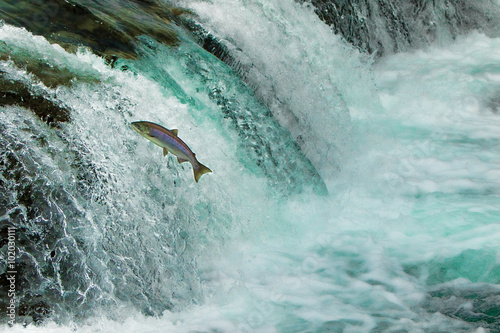 Fotografie, Obraz  Salmon Jumping Waterfall Alaska