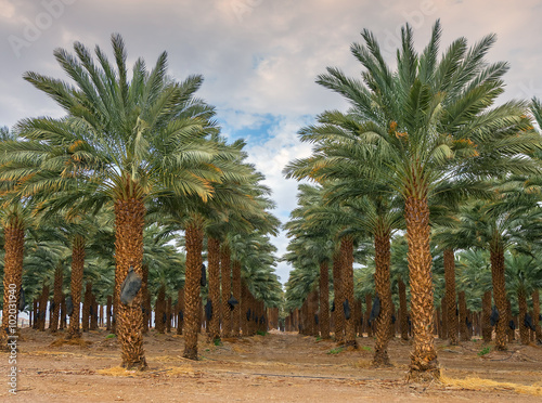 Photo Stands Roe Plantation of date palms