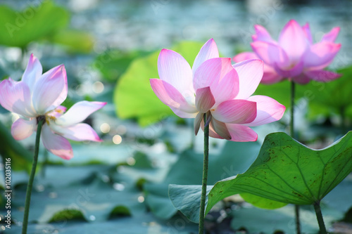 Garden Poster Lotus flower lotus flower blooming in pond.
